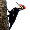 Pileated Woodpecker<br /> <br /> Photographer's Name: Mark Selvio<br /> Photographer's City and State: Logansport, IN