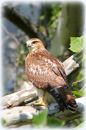Red-Tailed Hawk        600W, Cass County<br /> <br /> Photographer's Name: Bud Dodrill<br /> Photographer's City and State: Logansport, IN