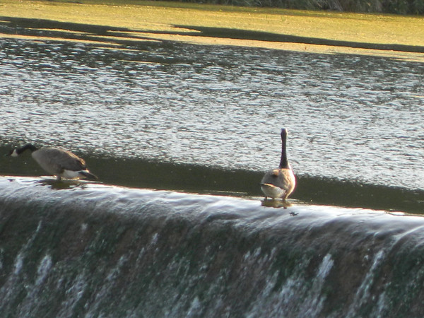 Ten Street Dam. Two ducks playing on top of dam. They can do this because so little water flowing over the dam.<br /> <br /> Photographer's Name: Robert Zimmerman<br /> Photographer's City and State: Logansport, IN