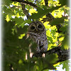 Barred Owl, Georgetown Road<br /> <br /> Photographer's Name: Bud Dodrill<br /> Photographer's City and State: Logansport, IN