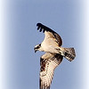 Osprey, Georgetown Road.<br /> <br /> Photographer's Name: Bud Dodrill<br /> Photographer's City and State: Logansport, IN