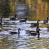 Gaggle of geese off the River Bluff Trail, autumn colors reflected on the water, Logansport, Indiana<br /> <br /> Photographer's Name: Diane Murphy<br /> Photographer's City and State: Logansport, IN