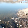 Fish have been dying for more than a week at Lake Perry, Logansport.<br /> <br /> Photographer's Name: Neha Finney<br /> Photographer's City and State: Logansport, IN