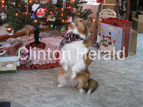 Showing how good can a Sheltie be, after all, its Christmas time in Clinton  Photographer's Name: david bidrawn Photographer's City and State: clinton, IA