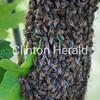 Bees<br /> <br /> Photographer's Name: Lori Callahan<br /> Photographer's City and State: Clinton, IA