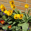 Spring Tulips<br /> <br /> Photographer's Name: Dennis Kumkowski<br /> Photographer's City and State: Anderson, IN