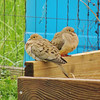 Cold doves wondering if it really is one month into spring.<br /> <br /> Photographer's Name: Sharon  Markle<br /> Photographer's City and State: Markleville, Ind.