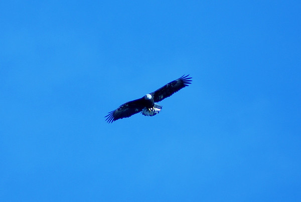 An eagle flying over Anderson.<br /> <br /> Photographer's Name: Josh Wehlage<br /> Photographer's City and State: Anderson, Ind.