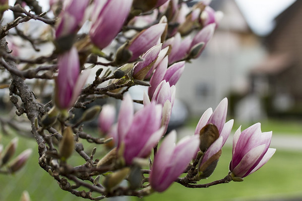 Spring Magnolias in Alexandria<br /> <br /> Photographer's Name: Tim Horn<br /> Photographer's City and State: Alexandria, IN