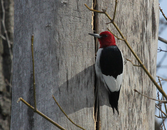 A beautiful redheaded woodpecker at Mounds State Park looking for food.<br /> <br /> Photographer's Name: Jerry  Byard<br /> Photographer's City and State: Anderson, Ind.