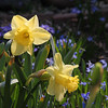 Beautiful Daffodils are blooming and the colorful area around them speak of Springtime.<br /> <br /> Photographer's Name: Jerry Byard<br /> Photographer's City and State: Anderson, IN