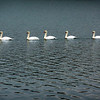A swan parade on Yellow Creek Lake<br /> <br /> Photographer's Name: Mary Beth King<br /> Photographer's City and State: Anderson, Ind.