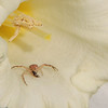 "It's Spring and the Daffodils are blooming and the 'little critters' are in the flowers capturing ants I think""<br /> <br /> Photographer's Name: Jerry Byard<br /> Photographer's City and State: Anderson, IN"