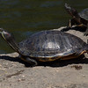 Turtles sunning at Falls Park<br /> <br /> Photographer's Name: Dennis Kumkowski<br /> Photographer's City and State: Anderson, IN