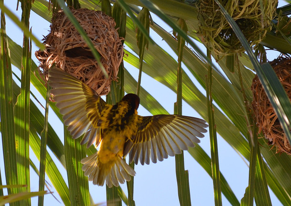"The ""village weaver"" weaves its nest upside down out of palm leaves. Taken in Puerto Plata, Dominican Republic.<br /> <br /> Photographer's Name: Steve Cockrill<br /> Photographer's City and State: Anderson, Ind."