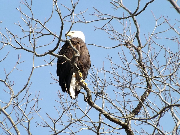 A bald eagle roosts in a tree at Lake Lemon on April 1.<br /> <br /> Photographer's Name: J.R. Rosencrans<br /> Photographer's City and State: Alexandria, Ind.