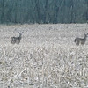 Deer in a farm field in Richland Twp.<br /> <br /> Photographer's Name: J.R. Rosencrans<br /> Photographer's City and State: Alexandria, Ind.