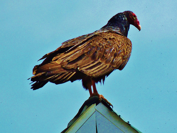 This handsome and useful turkey vulture is resting on top of our barn.<br /> <br /> Photographer's Name: Sharon Markle<br /> Photographer's City and State: Markleville, Ind.