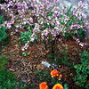 An orange ranunculus accents the flowering almond in Art Tate's flower garden at CrownPointe.<br /> <br /> Photographer's Name: Art Tate<br /> Photographer's City and State: Anderson, Ind.
