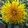 """The first flower of spring is a """"Dandy.""""<br /> <br /> Photographer's Name: J.R. Rosencrans<br /> Photographer's City and State: Alexandria, Ind."""