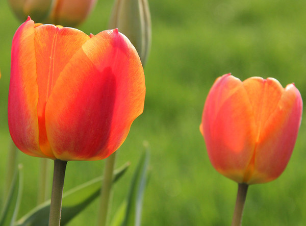 Before the stormy day on Thursday the sun brought out the beautiful colors of the tulips.<br /> <br /> Photographer's Name: Jerry Byard<br /> Photographer's City and State: Anderson, Ind.
