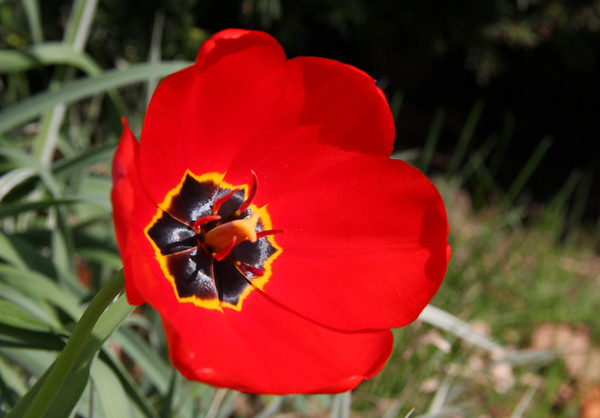 The warm weather has really brought out the flowers and the color of this tulip.<br /> <br /> Photographer's Name: Jerry Byard<br /> Photographer's City and State: Anderson, Ind.