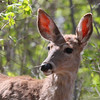 A young deer at Mounds Park with strong back lighting on its ears.<br /> <br /> Photographer's Name: Jerry Byard<br /> Photographer's City and State: Anderson, Ind.