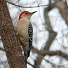 A red-bellied woodpecker at Mounds Park was waiting for a turn at a feeder.<br /> <br /> Photographer's Name: Jerry Byard<br /> Photographer's City and State: Anderson, Ind.