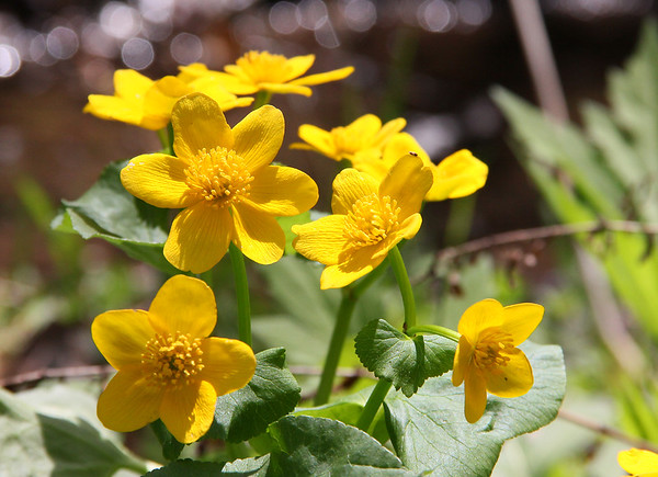 Marsh marigold flowers are a colorful addition to the wet areas at Mounds Park.<br /> <br /> Photographer's Name: Jerry Byard<br /> Photographer's City and State: Anderson, Ind.