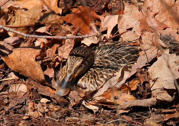 This nearly hidden nesting duck never flinched as a group of hikers passed close by.<br /> <br /> Photographer's Name: Jerry Byard<br /> Photographer's City and State: Anderson, Ind.
