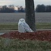 A snowy owl at Hoosier Park.<br /> <br /> Photographer's Name: John Connell<br /> Photographer's City and State: Anderson, Ind.