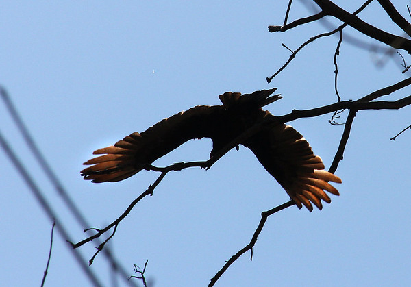 A turkey vulture took flight from high in a tree while I hiked nearby.<br /> <br /> Photographer's Name: Jerry Byard<br /> Photographer's City and State: Anderson, Ind.