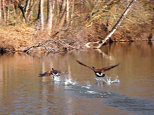In flight at Shadyside Lake.<br /> <br /> Photographer's Name: J.R. Rosencrans<br /> Photographer's City and State: Alexandria, Ind.