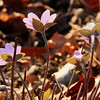 The wildflower hepatica is backlit from the late afternoon sun at Mounds Park.<br /> <br /> Photographer's Name: Jerry Byard<br /> Photographer's City and State: Anderson, Ind.