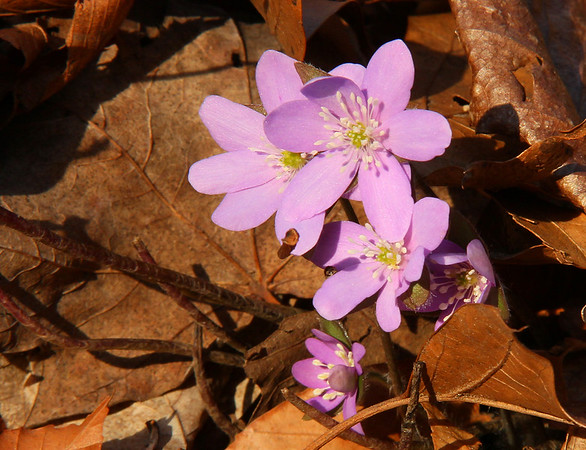 A beautiful warm spring evening at Mounds Park was the place this lovely hepatica wildflower showed its face.<br /> <br /> Photographer's Name: Jerry Byard<br /> Photographer's City and State: Anderson, Ind.