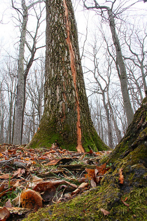 While hiking near the Great Mound at Mounds Park I noticed an old growth tree recently struck by lightning.<br /> <br /> Photographer's Name: Jerry Byard<br /> Photographer's City and State: Anderson, Ind.