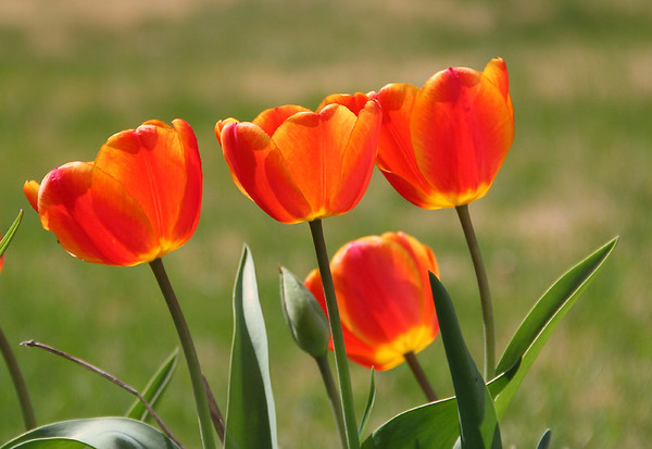 The sun was back lighting the tulips and opened them quickly after the fog lifted.<br /> <br /> Photographer's Name: Jerry Byard<br /> Photographer's City and State: Anderson, Ind.