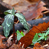 A prairie trillium at Mounds Park is now breaking through the forest floor.<br /> <br /> Photographer's Name: Jerry Byard<br /> Photographer's City and State: Anderson, Ind.