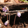 A pretty hepatica wildflower at Mounds Park was one of several that showed up on a hike today.<br /> <br /> Photographer's Name: Jerry Byard<br /> Photographer's City and State: Anderson, Ind.