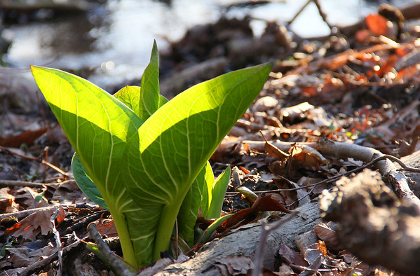 A sunny backlit skunk cabbage at Mounds Park is leafing out along with the many wildflowers.<br /> <br /> Photographer's Name: Jerry Byard<br /> Photographer's City and State: Anderson, Ind.
