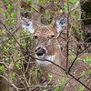 A close look at a whitetail deer at Mounds Park.<br /> <br /> Photographer's Name: Jerry Byard<br /> Photographer's City and State: Anderson, Ind.