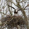 An eagle over its nest in Madison County.<br /> <br /> Photographer's Name: Jerry Byard<br /> Photographer's City and State: Anderson, Ind.