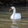 A swan at Geist Reservoir.<br /> <br /> Photographer's Name: J.R. Rosencrans<br /> Photographer's City and State: Alexandria, Ind.