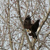 An eagle flying away from the tree after perching for a while.<br /> <br /> Photographer's Name: Jerry Byard<br /> Photographer's City and State: Anderson, Ind.