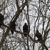 A quartet of turkey vultures in a Sycamore Tree seen from Mounds Park.<br /> <br /> Photographer's Name: Jerry Byard<br /> Photographer's City and State: Anderson, Ind.