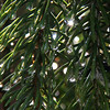 Spruce needles on my tree after the rain.<br /> <br /> Photographer's Name: Jerry Byard<br /> Photographer's City and State: Anderson, Ind.