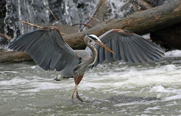 A blue heron at Falls Park.<br /> <br /> Photographer's Name: Allan  Howell<br /> Photographer's City and State: Pendleton, Ind.