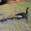 Baby goslings and mom at Mounds Park.<br /> <br /> Photographer's Name: Jerry Byard<br /> Photographer's City and State: Anderson, Ind.