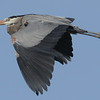 Blue heron in flight at the heron rookery.<br /> <br /> Photographer's Name: Allan Howell<br /> Photographer's City and State: Pendleton, Ind.
