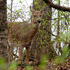 A whitetail deer at Mounds Park seen through the brush.<br /> <br /> Photographer's Name: Jerry Byard<br /> Photographer's City and State: Anderson, Ind.